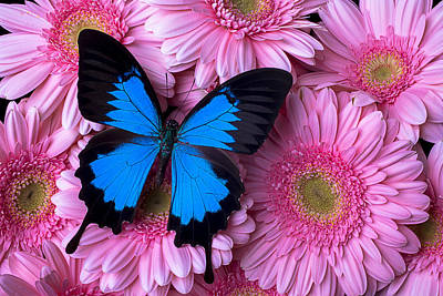 Chrysanthemum Photograph - Dark Blue Butterfly by Garry Gay