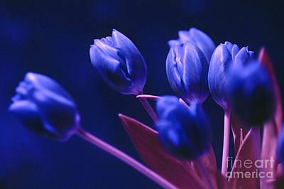 Dark Blue Tulips Art Print