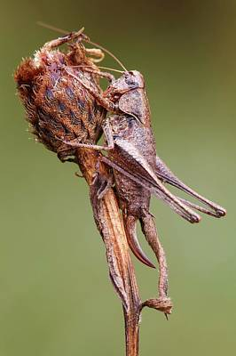 Cricket Photograph - Dark Bush Cricket by Heath Mcdonald