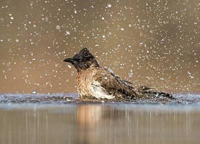 Bathing Photograph - Dark Capped Bulbul Bathing by Tony Camacho