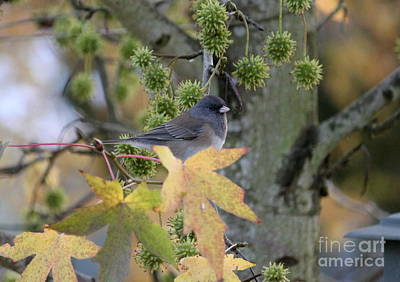 Photograph - Dark Eyed Junco by Erica Hanel