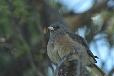 Photograph - Dark-eyed Junco by Frank Madia