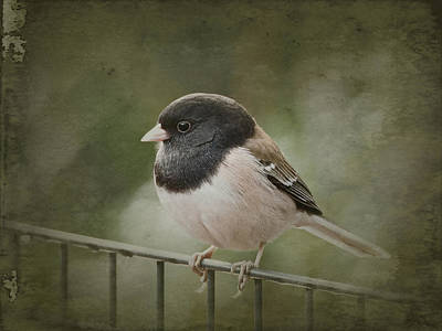Photograph - Dark-eyed Junco  by Parrish Todd