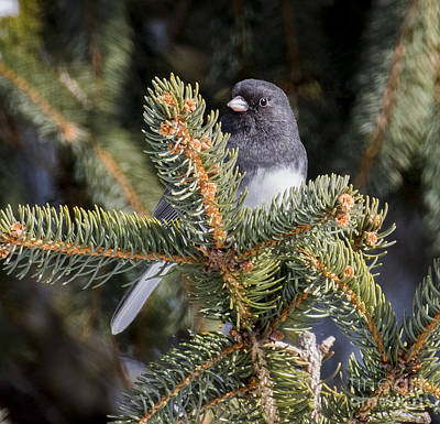Dark-eyed Junco  Art Print by Ricky L Jones