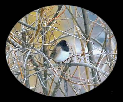 Photograph - Dark- Eyed Junco by Will Borden