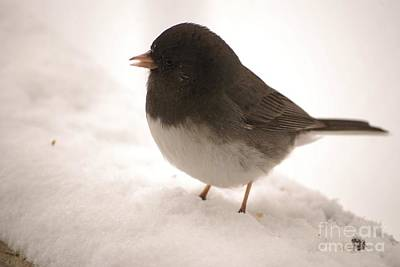 Photograph - Dark Eyed Slate Colored Junco by Mark McReynolds