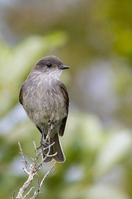 Flycatcher Photograph - Dark Faced Ground Tyrant On A Perch by Tim Grams