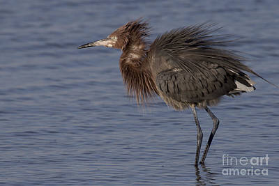 Photograph - Dark Morph Tricolored Heron Photo by Meg Rousher