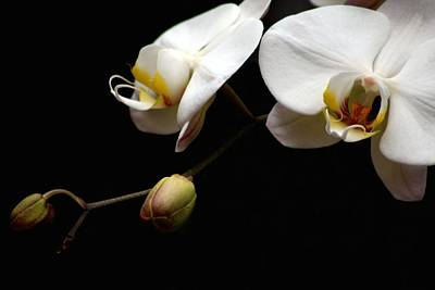 Photograph - Dark Orchid by Carol Montoya