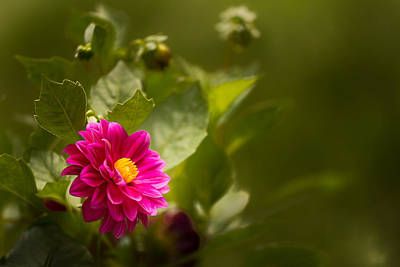 Photograph - Dark Pink Dahlia In The Garden by  Onyonet  Photo Studios
