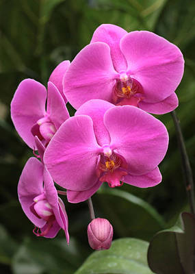Photograph - Dark Pink Moth Orchids by Harold Rau