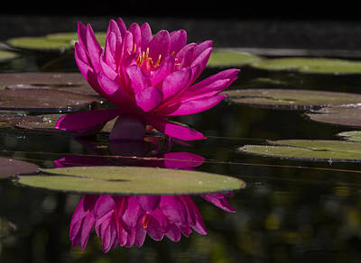 Photograph - Dark Pink Waterlily With Reflections by Jean Noren