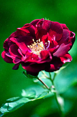 Photograph - Dark Red Rose by Crystal Wightman
