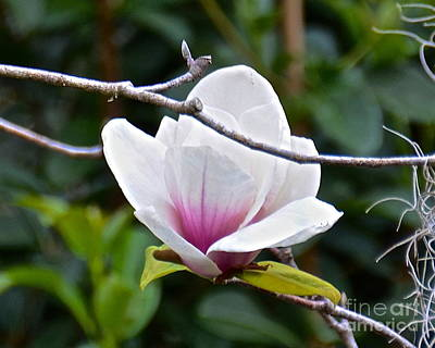 Photograph - Dark Shadows Magnolia by Carol  Bradley