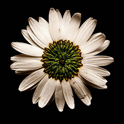 Photograph - Dark Side Of A Daisy Square by Weston Westmoreland