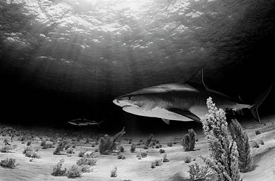 Reef Shark Photograph - Dark Tiger by Ken Kiefer