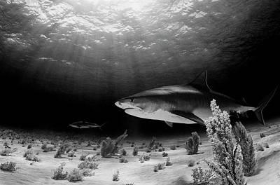 Shark Photograph - Dark Tiger by Ken Kiefer