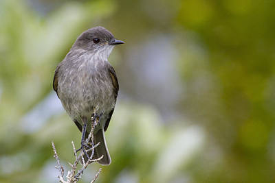 Flycatcher Photograph - Darkfaced Ground Tyrant by Tim Grams