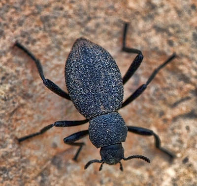 Photograph - Darkling Beetle On Grand Canyon South Rim by Gregory Scott