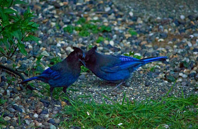 Darling I Have To Tell You A Secret-sweet Stellar Jay Couple Art Print