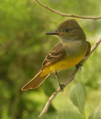 Photograph - Darling Little Flycatcher by Grace Dillon
