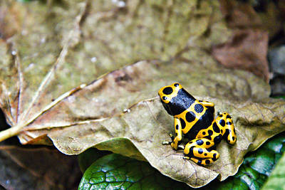Photograph - Dart Frog by Lana Trussell