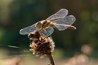Darter Photograph - Darter Dragonfly (sympetrum Sp.) by Dr. John Brackenbury