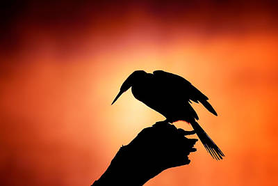 Birds Royalty Free Images - Darter silhouette with misty sunrise Royalty-Free Image by Johan Swanepoel