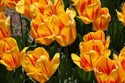 Photograph - Darwin Hybrid Apeldoor Tulips by Allen Beatty
