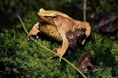Frog Photograph - Darwin's Frog (rhinoderma Darwini by Andres Morya Hinojosa