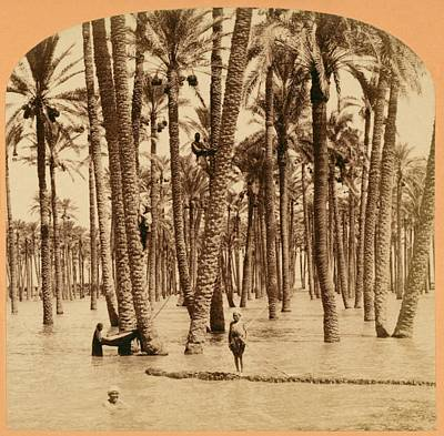 Date Palms And Nile Flood Art Print by Library Of Congress