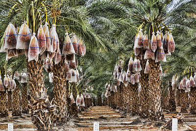 Digital Art - Date Palms by Photographic Art by Russel Ray Photos
