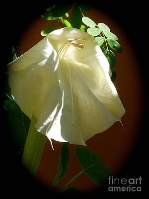 Jimson Photograph - Datura Aging Gracefully by L T Sparrow