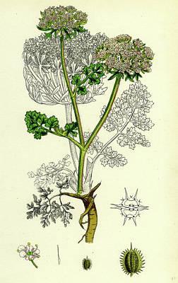 Carrot Drawing - Daucus Carota Var by English School