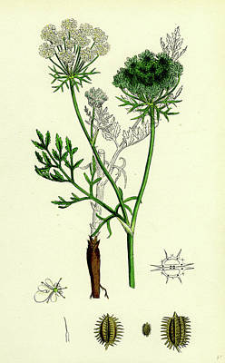 Carrot Drawing - Daucus Carota Wild Carrot by English School