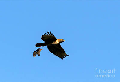 Red Tailed Hawk Photograph - David And Goliath by Mike  Dawson