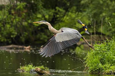 Great Heron Photograph - David Vs Goliath by Mircea Costina Photography