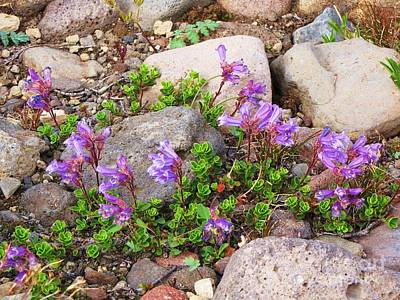 Photograph - Davidson's Penstemon by Michele Penner