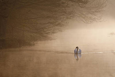 Dawn Swan Art Print by Ian Merton