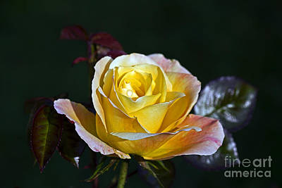 Art Print featuring the photograph Day Breaker Rose by Kate Brown