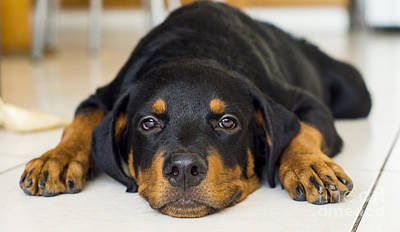Rottweiler Wall Art - Photograph - Day Dreaming by Aged Pixel