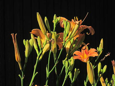 Photograph - Day Lilies At Night by Guy Ricketts