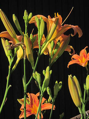 Photograph - Day Lilies by Guy Ricketts