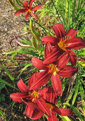 Graduation Hats Royalty Free Images - Day Lilies Royalty-Free Image by Melinda Fawver