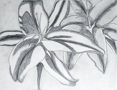 Drawing - Day Lily by Cecilia Stevens