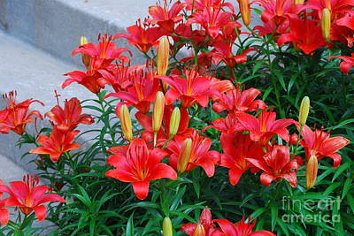 Single Red Orange Daylily Photograph - Day Lily Group by Mark McReynolds