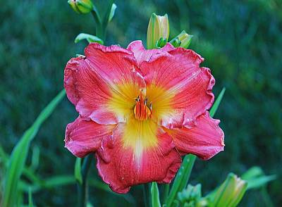 Photograph - Day Lily Head On by Michael Saunders