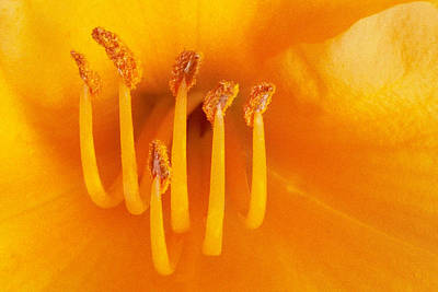 Photograph - Day Lily II by Michael Moschogianis