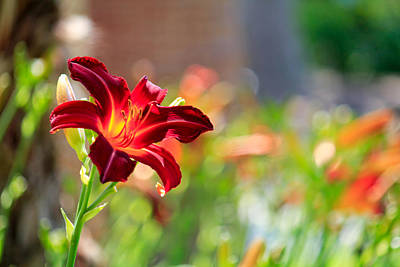 Photograph - Day Lily by Kathy Nairn