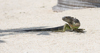 Photograph - Day Of The Iguana by John M Bailey